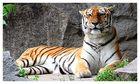 Tiger im Tierpark Berlin