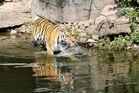Tiger im Wasser 1