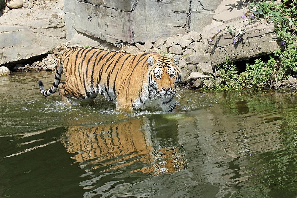 Tiger im Wasser 2