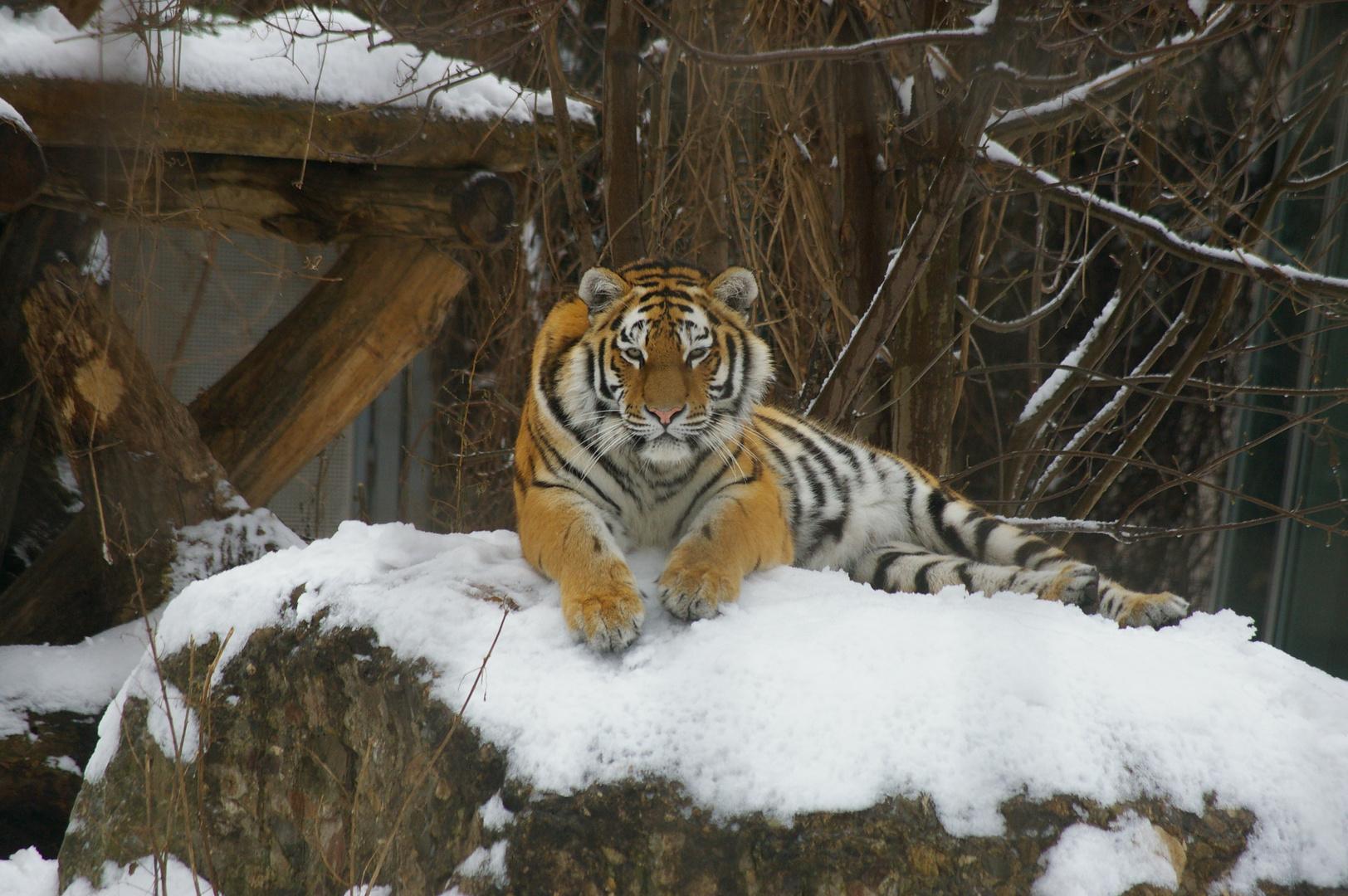 tiger im winter