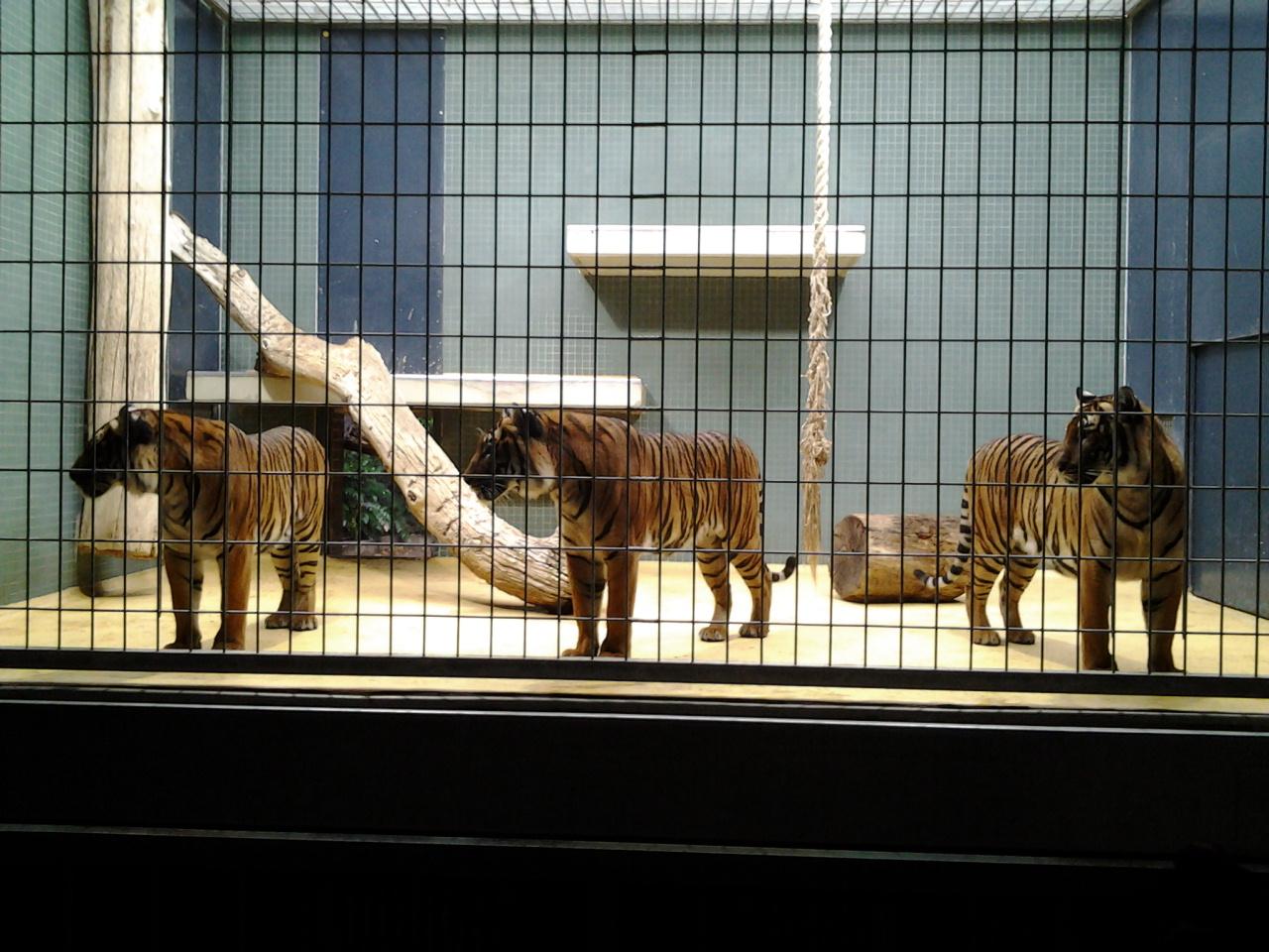 Tiger im Zoo Berlin