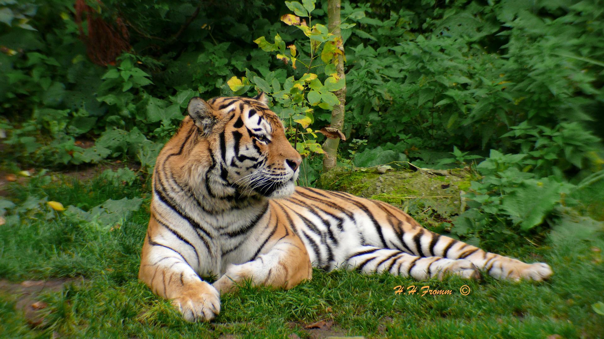 Tiger im Zoo Leipzig , Bild 2