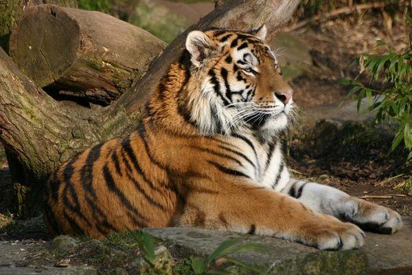 Tiger im Zoo Münster