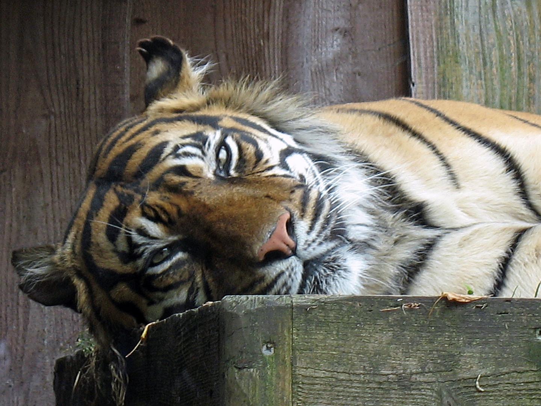 Tiger im Zoo von London