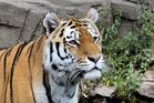 Tiger im Zoo Wuppertal