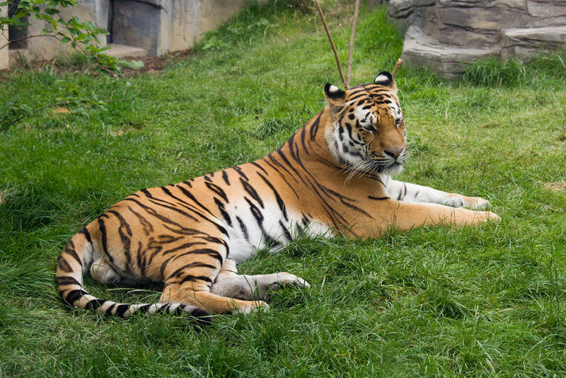 Tiger im Zoo, Wuppertal