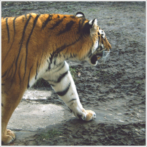 Tiger- in Eile!