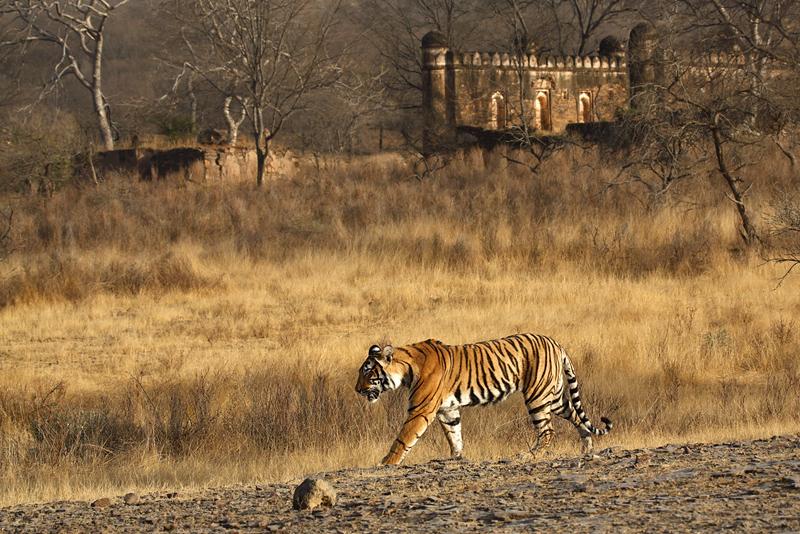 TIGER in Ranthambore, Indien