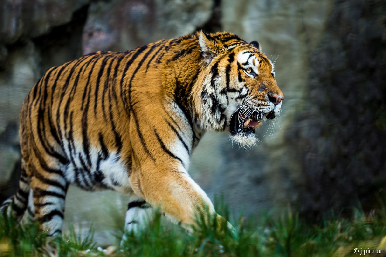 Tiger in Schmiding