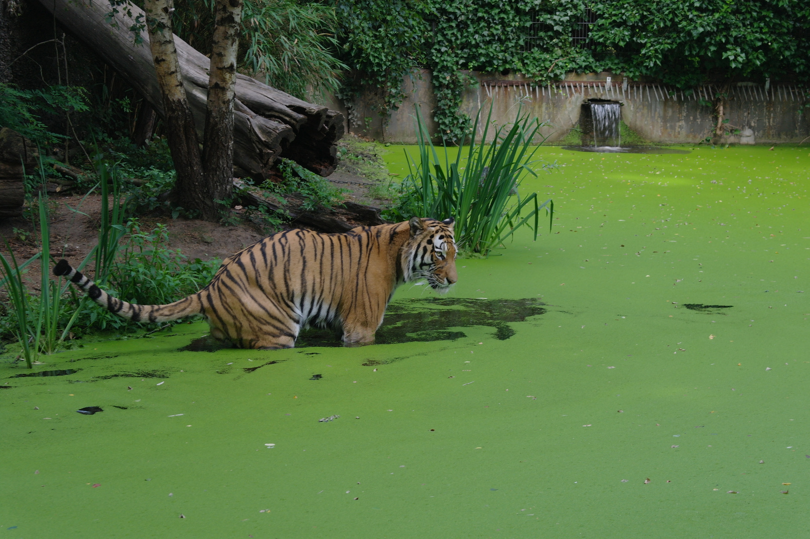 Tiger in watter