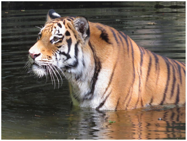 Tiger Jegor 2