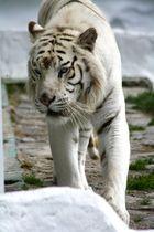 Tiger jo