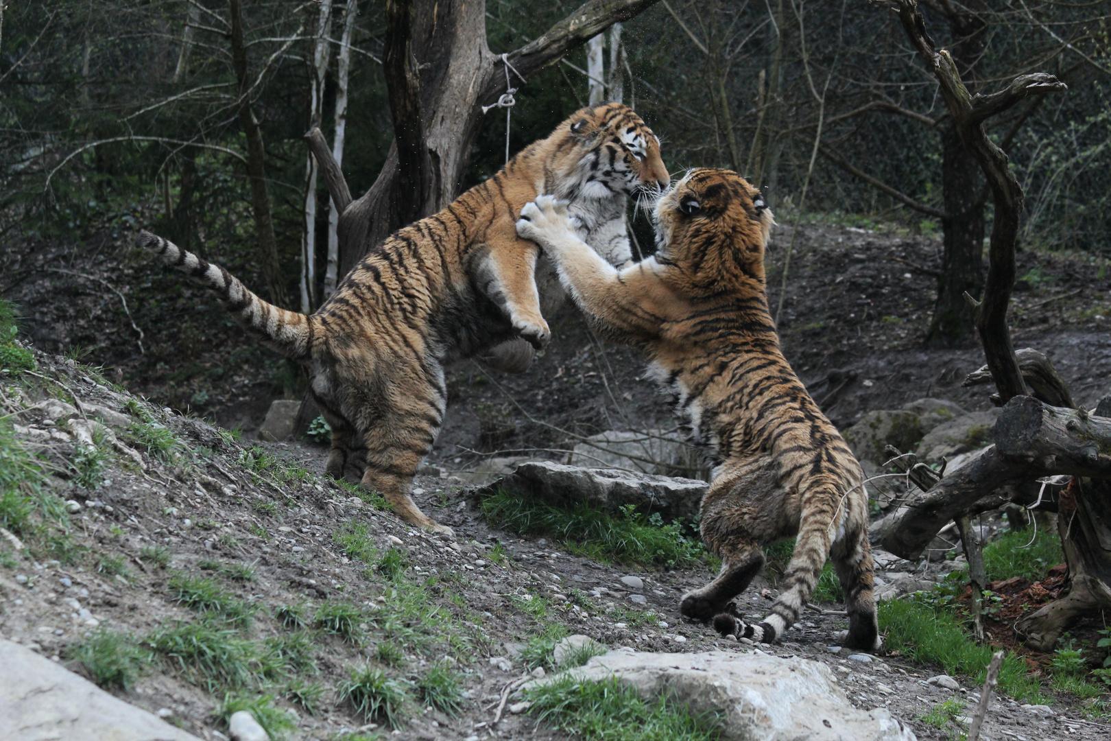 Tiger - Kampf