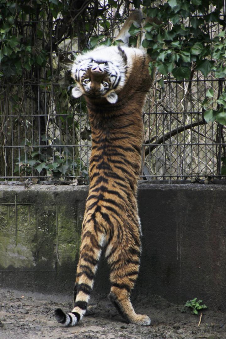 Tiger: Könnt ihr mich sehen?