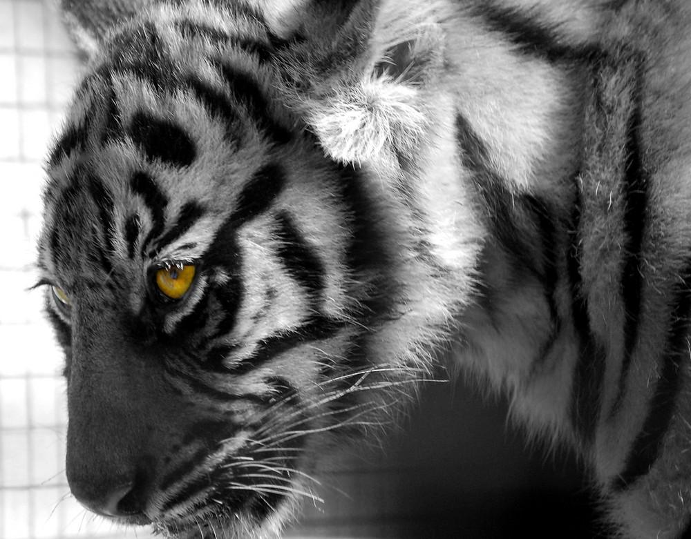 Tiger Lilly