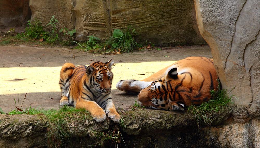 Tiger mit jungen...
