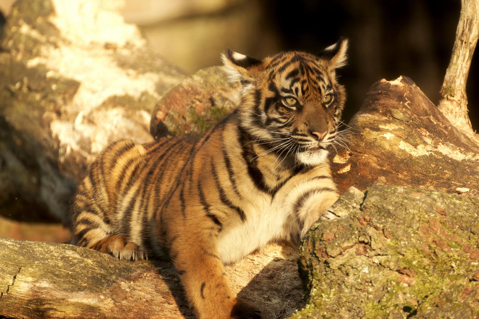 Tiger Nachwuchs