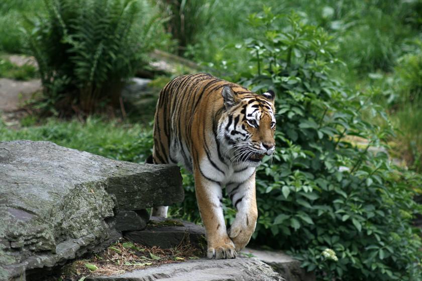 """Tiger """" ob man merkt das ich heute im Zoo gewesen bin??"""""""