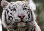 Tiger (Panthera tigris) / weißer Tiger / Portrait