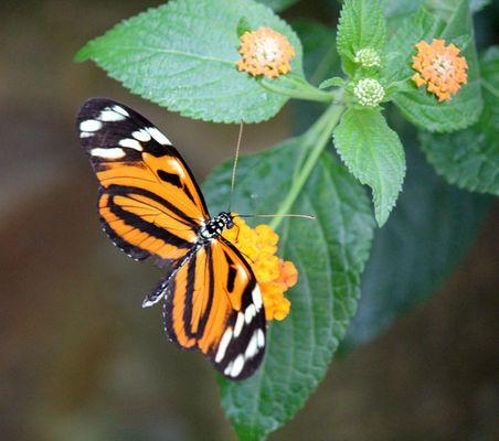 Tiger- Passionsblumenfalter 3