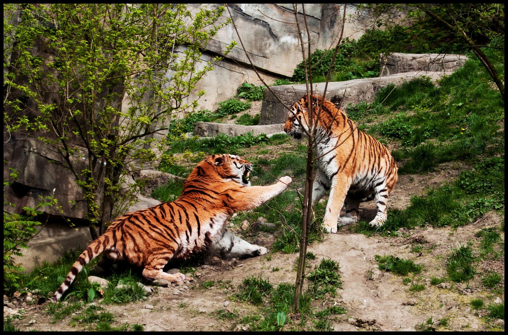 Tiger Revierstreit