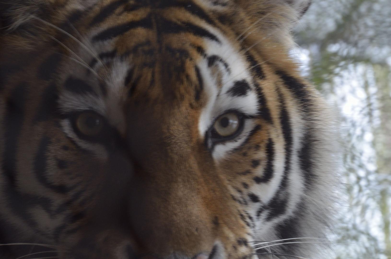 Tiger sehr nah
