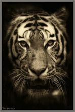 Tiger (serie)
