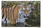 Tiger sind nicht wasserscheu !