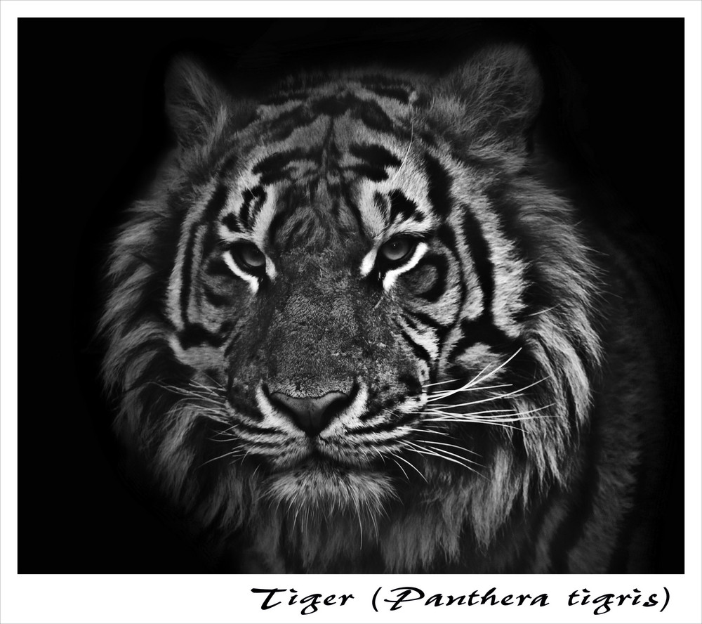 Tiger s/w