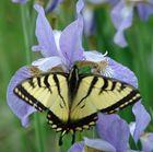 Tiger Swallowtail - Tiger Schwalbenschwanz