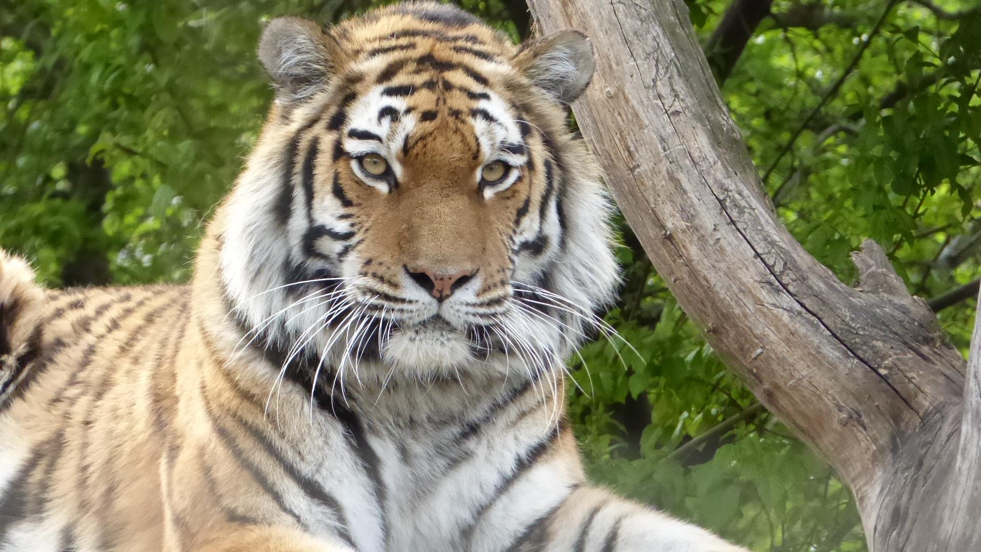 Tiger - Tiergarten Schönbrunn
