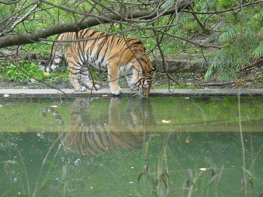 Tiger trinkt