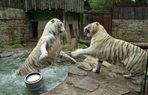 Tiger Trouble Part 2