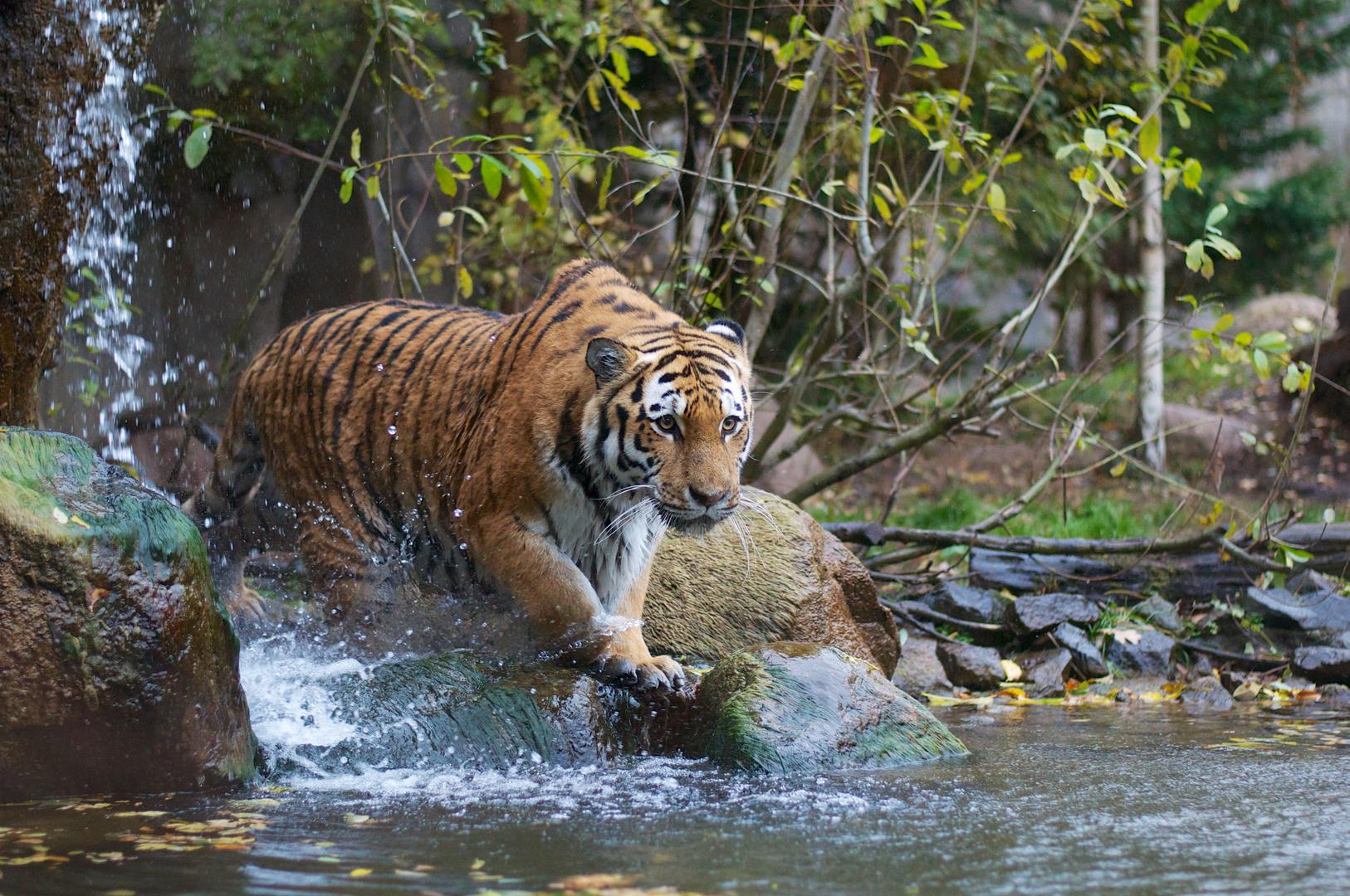 Tiger und Wasser