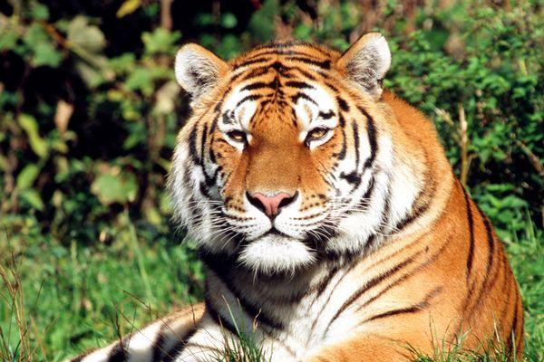 Tiger -update-