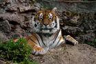 Tiger vom Tiergarten Salzburg