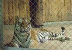 Tiger vor dem Mittagessen
