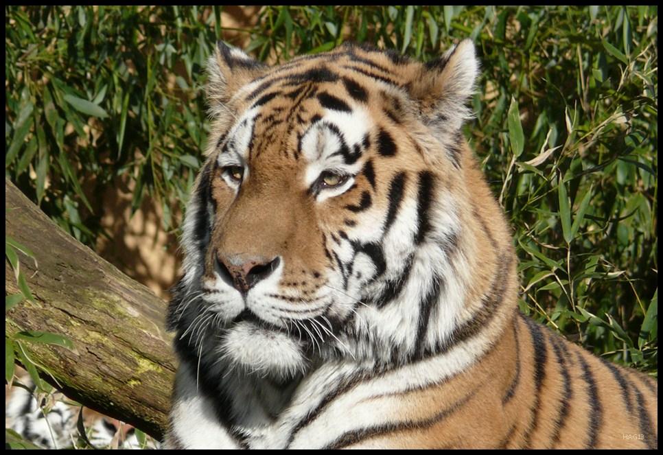 Tiger (vor) woods