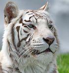 Tiger-weiß