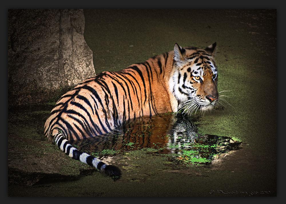 Tiger Wellness