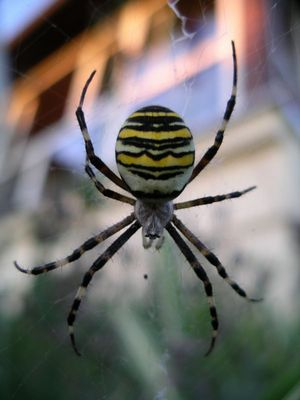 Tiger wiedergeboren als Spinne