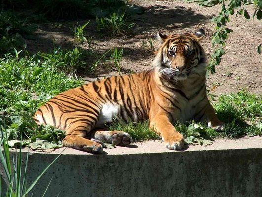 Tiger ,Wilhelma Stuttgart