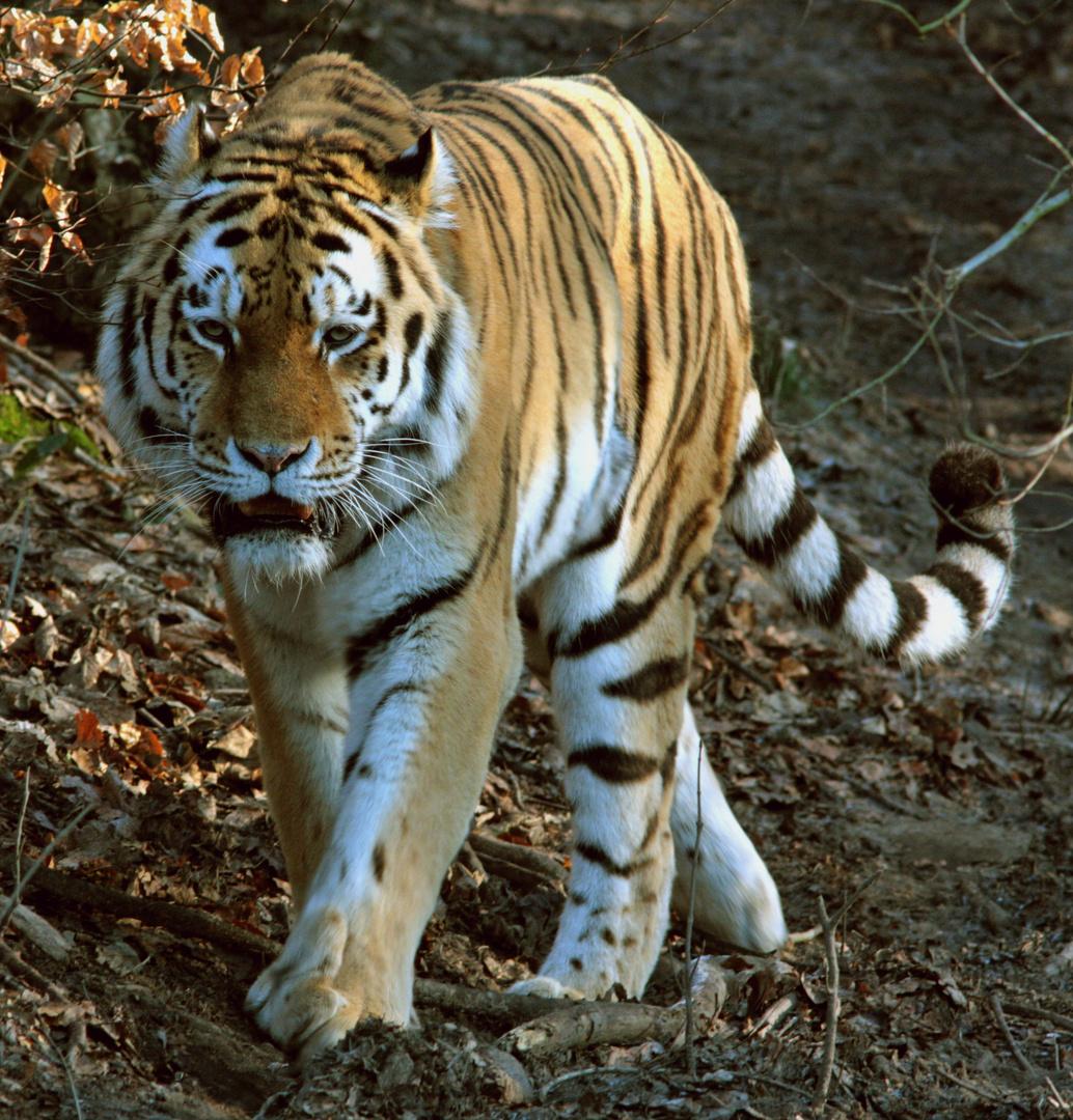 Tiger ,Wuppertaler Zoo