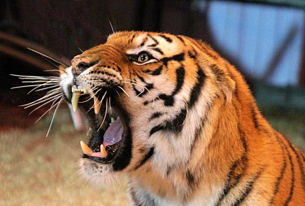 Tiger Zirkus Charles Knie T