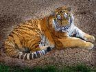 Tiger (Zoo Neuwied)