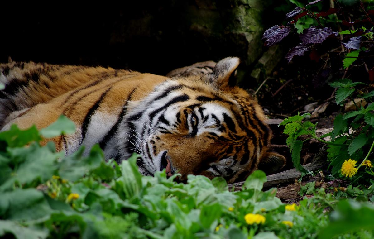 Tigerauge sei wachsam
