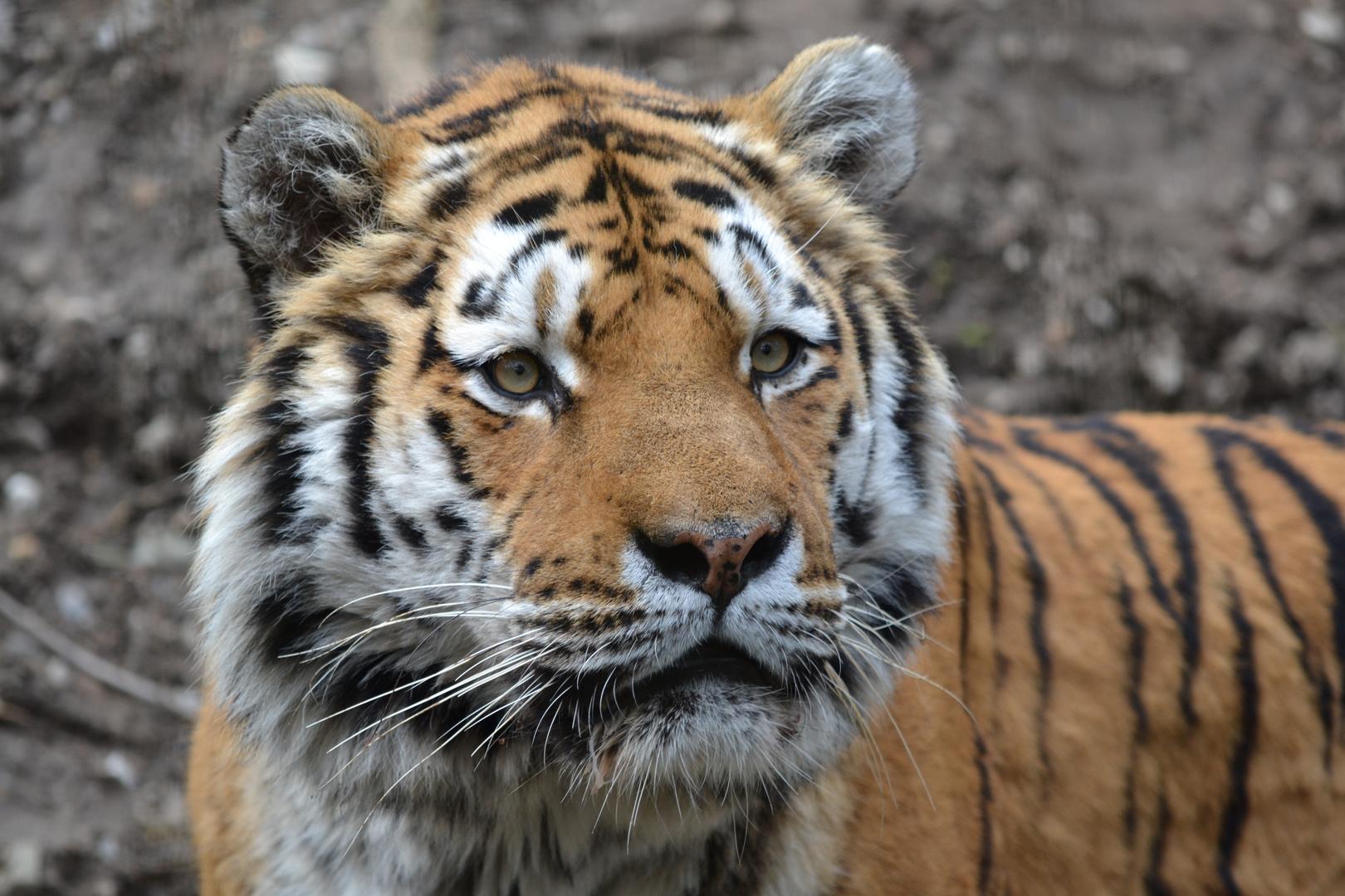Tigeraugen