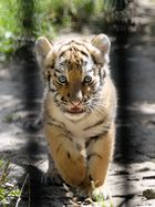 Tigerbaby II