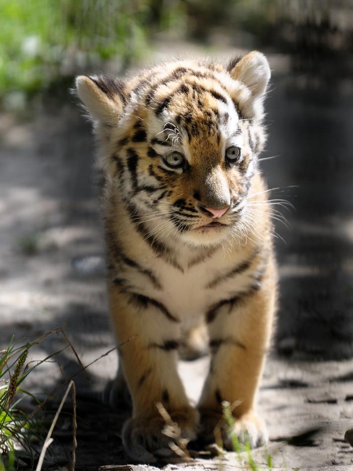 Tigerbaby III