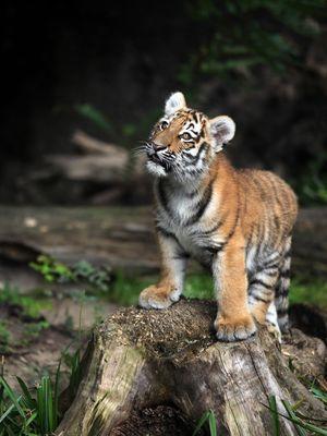 Tigerbaby im Duisburger Zoo